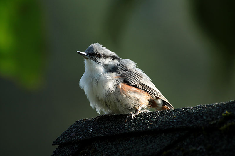 Nuthatch_lab_1.jpg