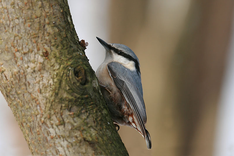 Nuthatch_labanoras_1.jpg