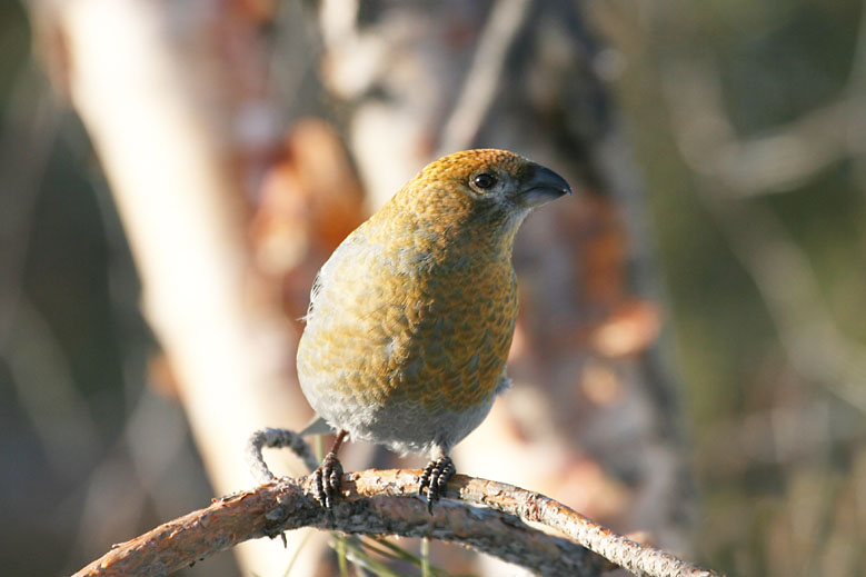 Pine_Grosbeak_female.jpg
