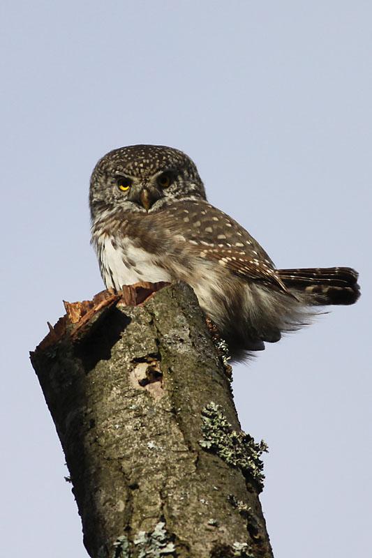 Pygmy_Owl_lab_1.jpg