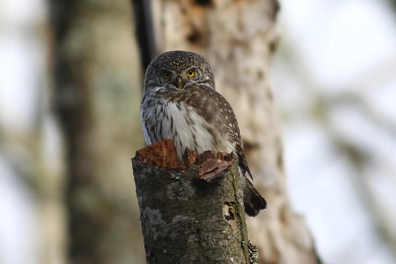 Pygmy_Owl_lab_2.jpg