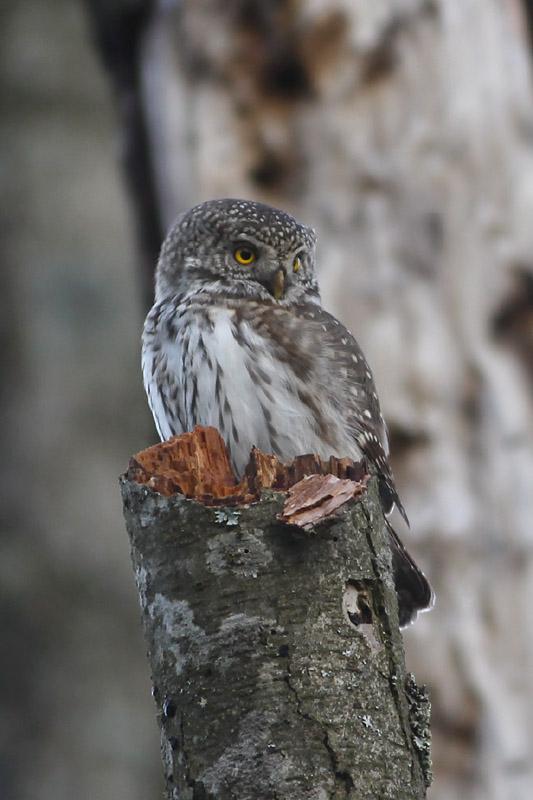 Pygmy_Owl_lab_3.jpg