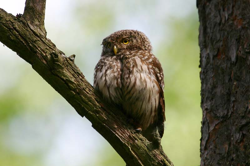 Pygmy_Owl_thumb_5.jpg