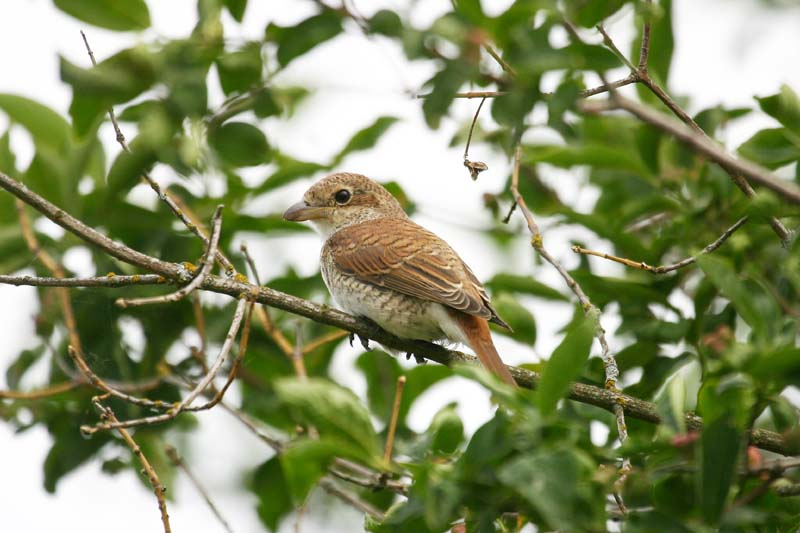 Red-backed Shrike juv thumb 1.jpg