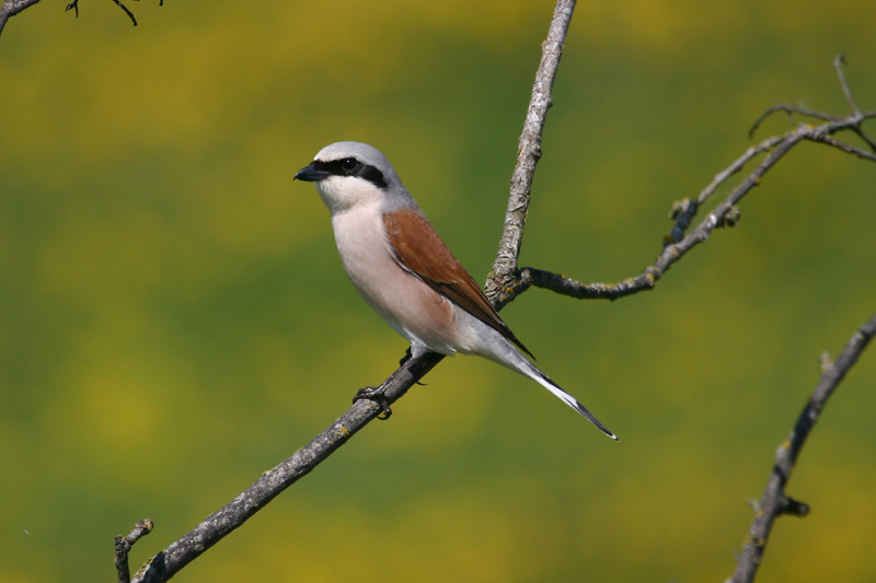Red-backed_Shrike,_labanoras.jpg