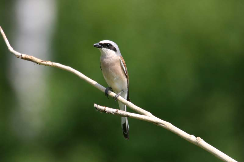 Red-backed_Shrike_thumb_1.jpg
