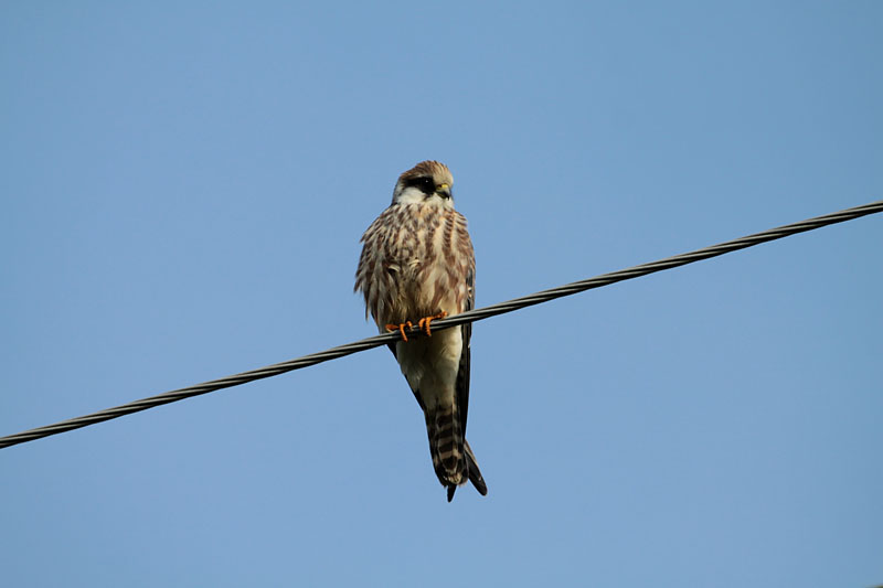 Red-footed_Falcon_lab_3.jpg