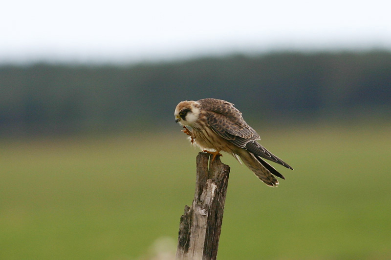 Red-footed_Falcon_lukna_1.jpg
