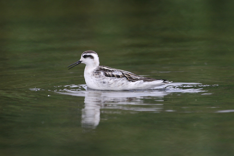 Red-necked_Phalarope,_autumn.jpg