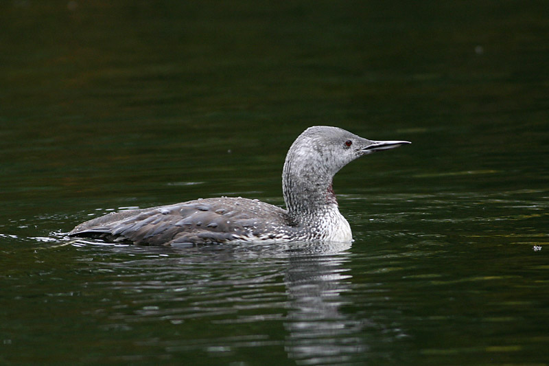 Red-throated_Diver_adult_2.jpg