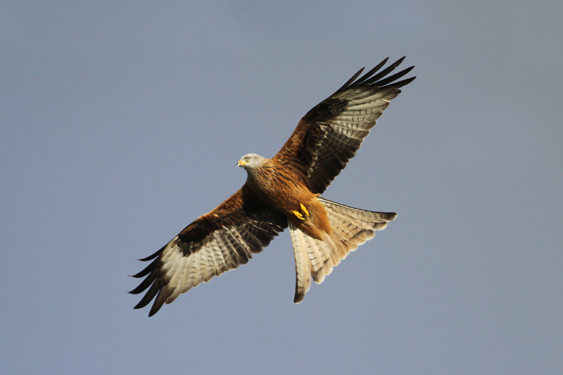 Red_Kite_wal_1.jpg