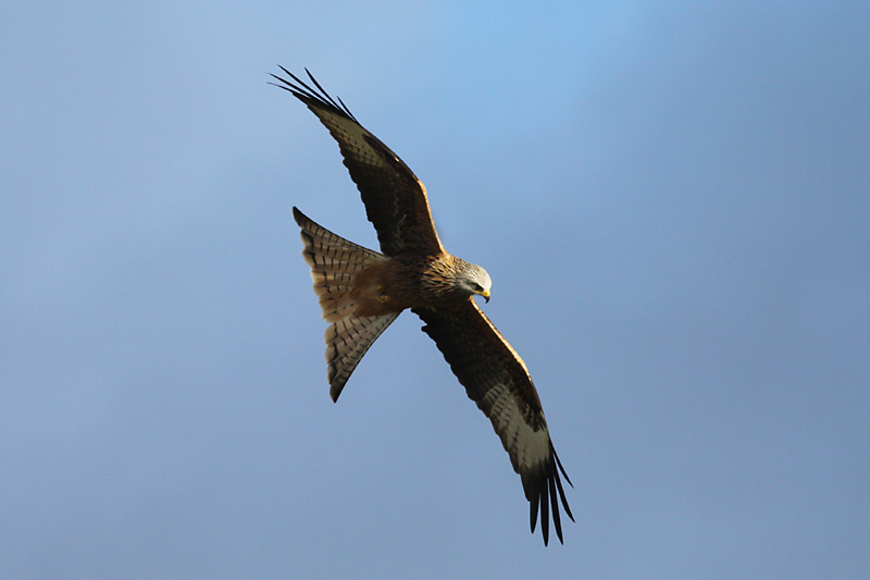Red_Kite_wal_3.jpg