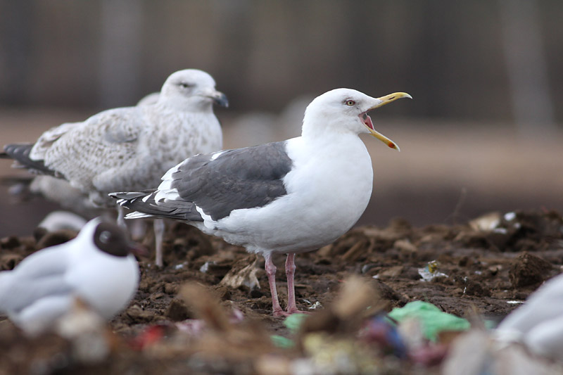 Slaty-backed_Gull_riga_2.jpg