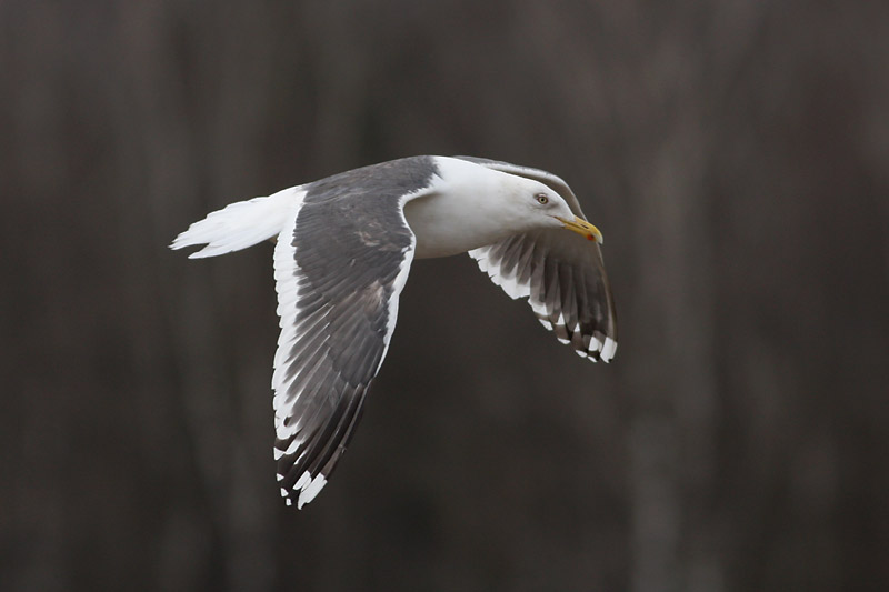 Slaty-backed_Gull_riga_3.jpg