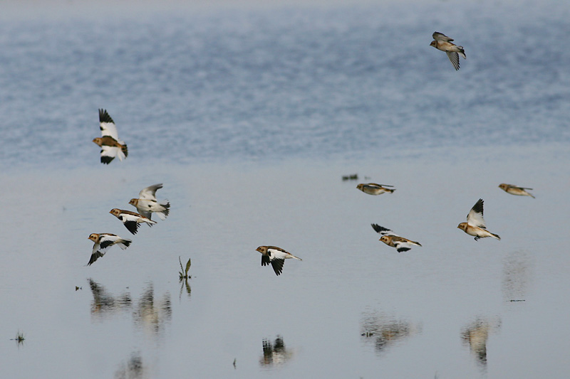 Snow_Buntings_norfolk.jpg