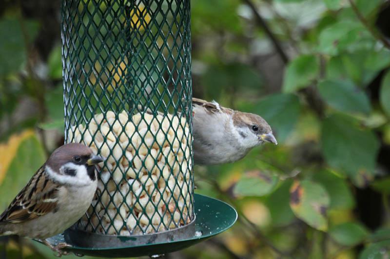 Sparrow_hydrid_gar.jpg