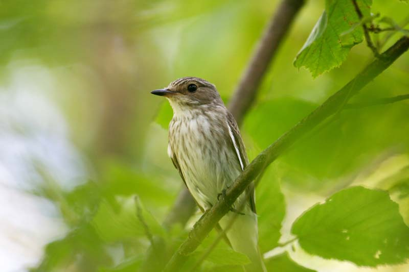 Spotted Flycatcher thumb.jpg