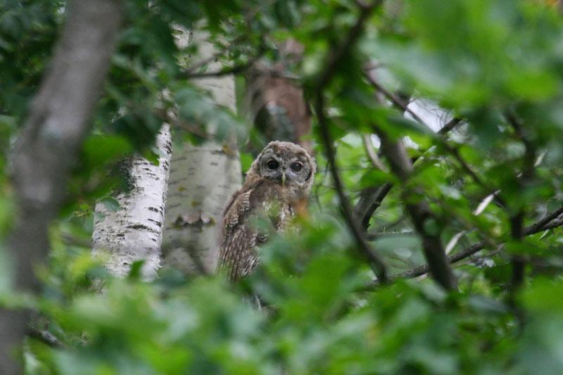 Tawny_Owl_fledgling.jpg