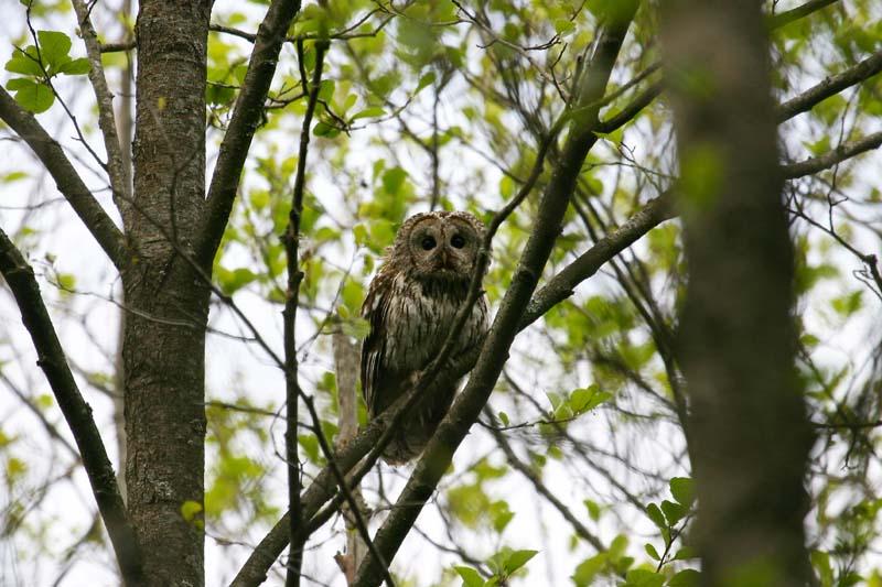 Tawny_Owl_thumb_1.jpg