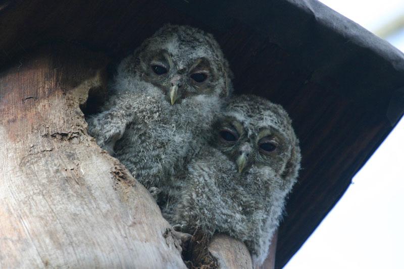 Tawny_Owls,_labanoras.jpg