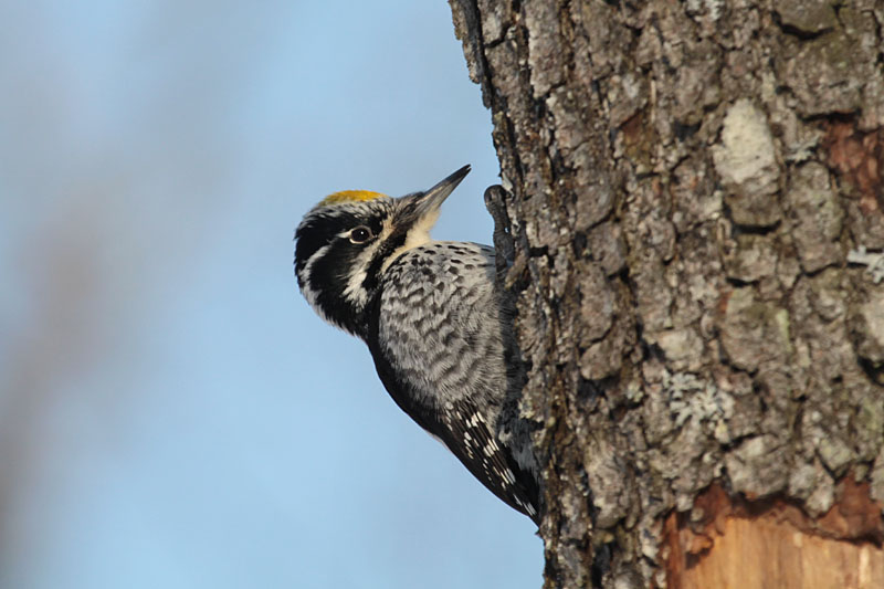 Three-toed_Woodpecker_lab_4.jpg