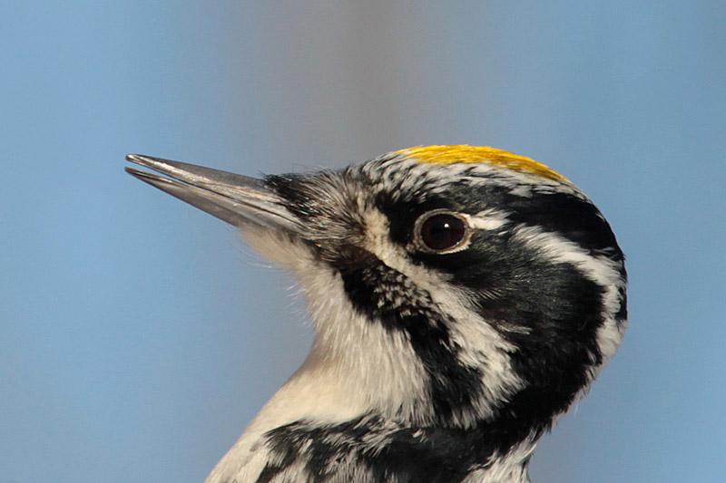 Three-toed_Woodpecker_lab_6.jpg