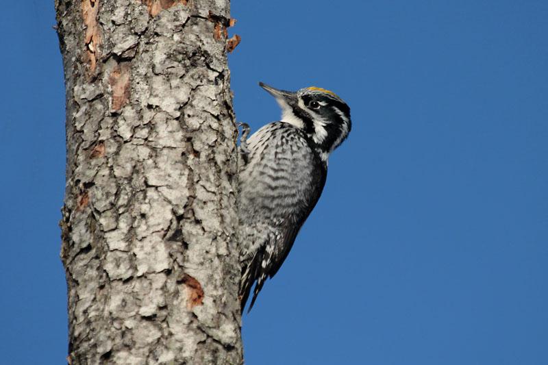 Three-toed_Woodpecker_lab_8.jpg