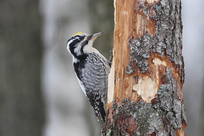 Three-toed_Woodpecker_labanoras_2.jpg