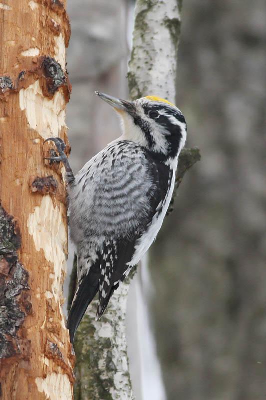Three-toed_Woodpecker_labanoras_3.jpg