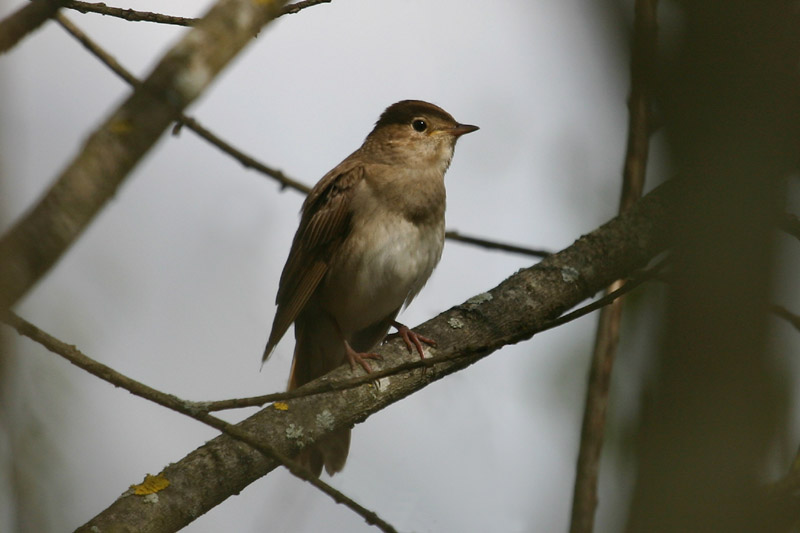 Thrush_Nightingale,_spring.jpg