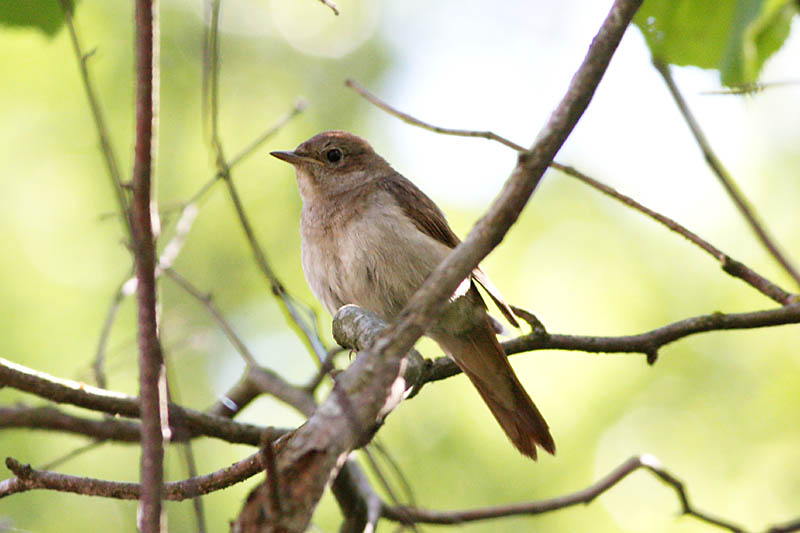 Thrush_Nightingale_juv.jpg