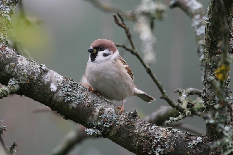 Tree_Sparrow_garden.jpg