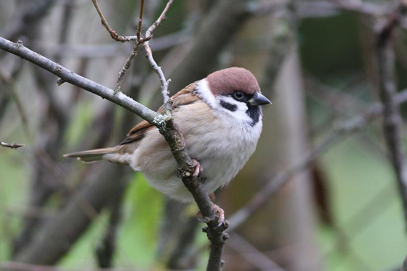 Tree_Sparrow_garden_1.jpg