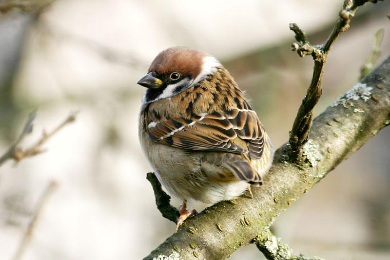 Tree_Sparrow_garden_2.jpg