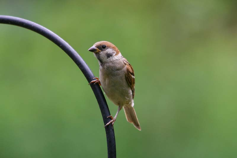 Tree_Sparrow_thumb_1.jpg