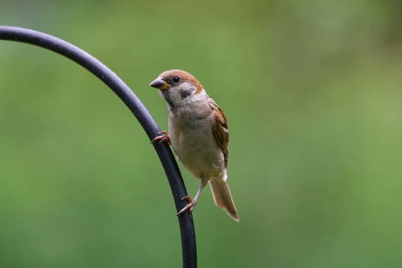 Tree_Sparrow_thumb_2.jpg