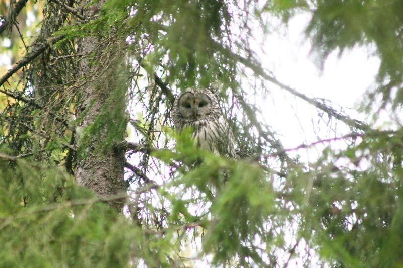 Ural_Owl_-_adult_thumb_4.jpg