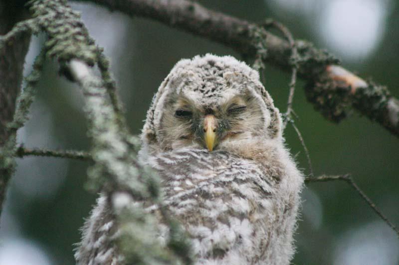 Ural_Owl_-_chick_thumb_1.jpg