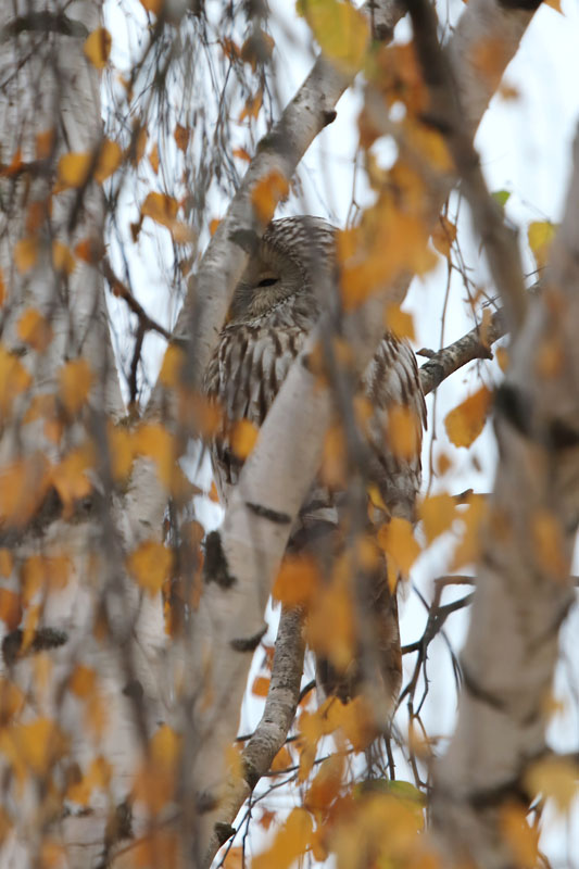 Ural_Owl_vn_1.jpg