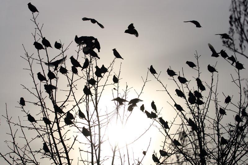 Waxwings_Sun,_gardens.jpg