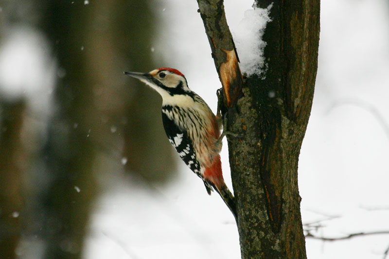 White-backed_Woodpecker,_labanoras_2.jpg