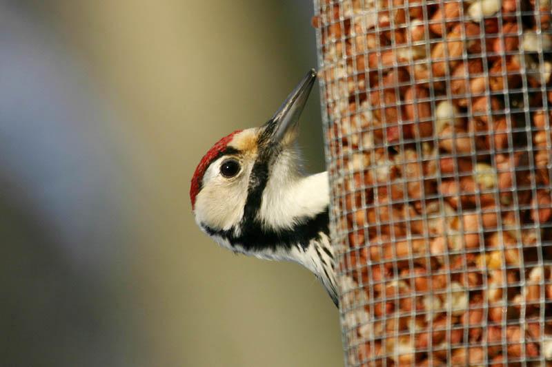 White-backed_Woodpecker,_labanoras_20000.jpg