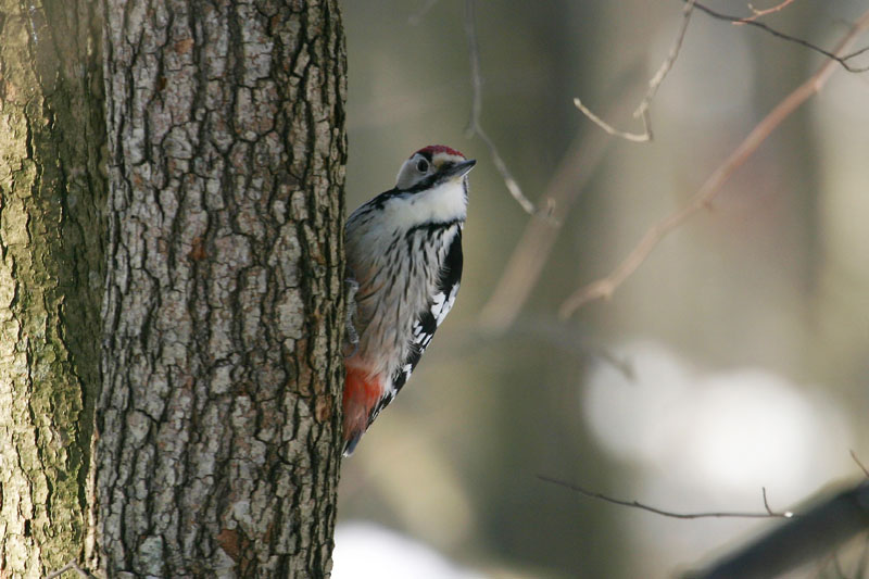 White-backed_Woodpecker,_male0000.jpg