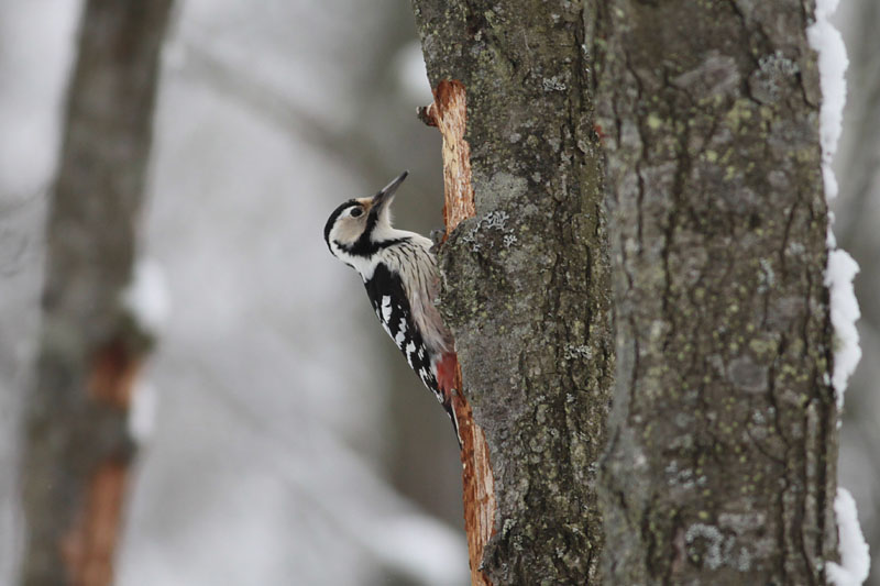 White-backed_Woodpecker_lab_10000.jpg