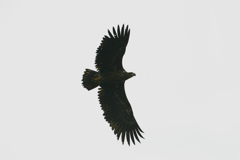 White-tailed_Eagle,_dog.jpg