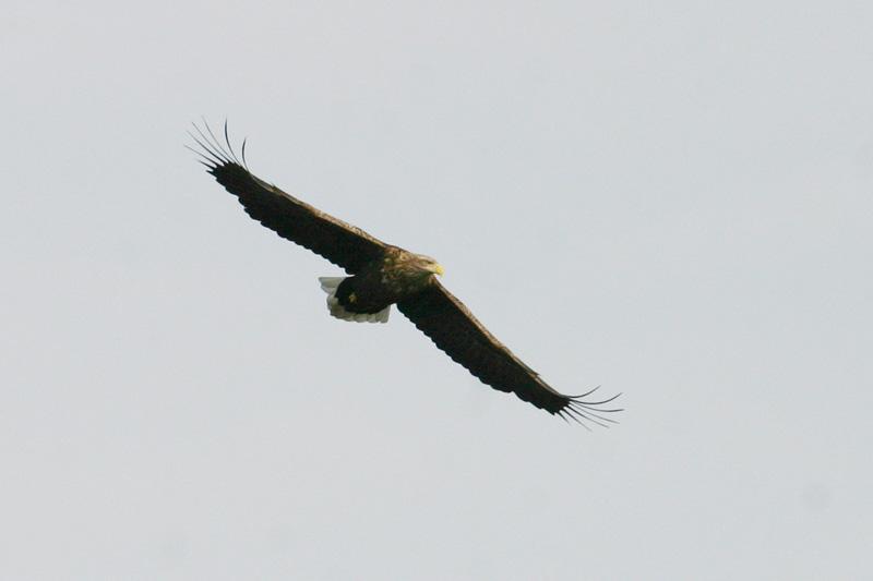White-tailed_Eagle_air.jpg