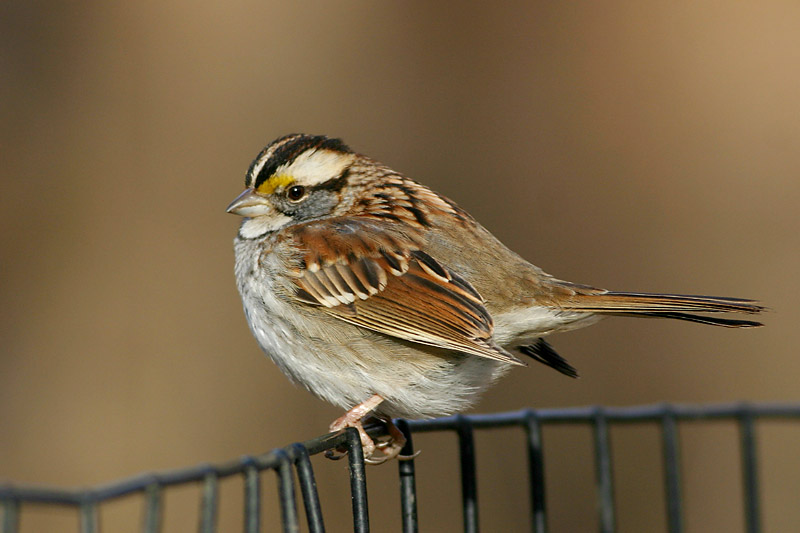 White-throated_Sparrow_us_1.jpg