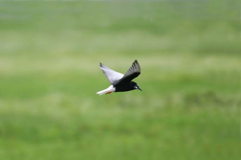 White-winged_Black_Tern_thumb_4.jpg