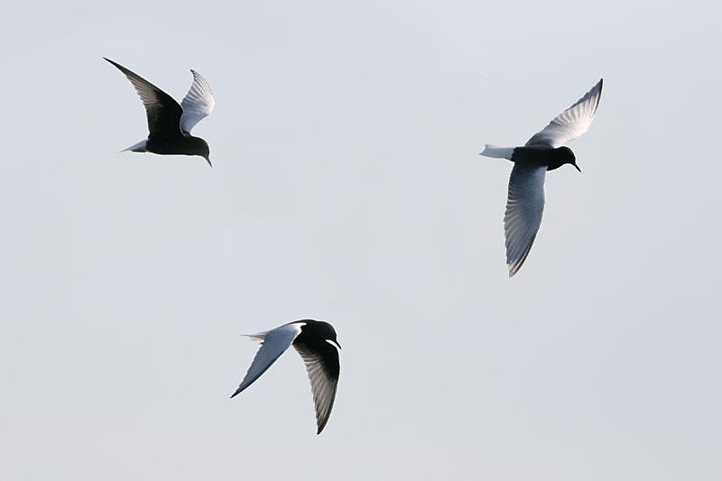 White-winged_Black_Terns_lith_1.jpg