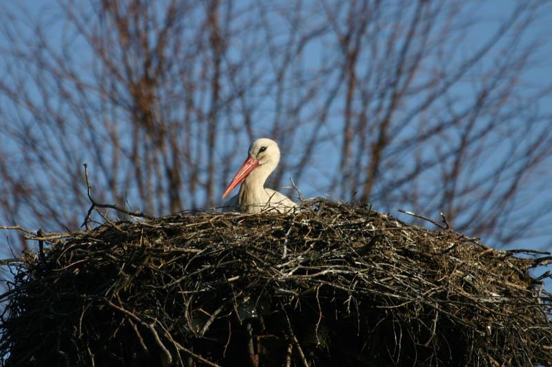 White_Stork,_house.jpg